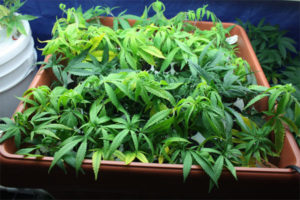 Plants grown indoors retain more of the pesticides than those grown outdoors.