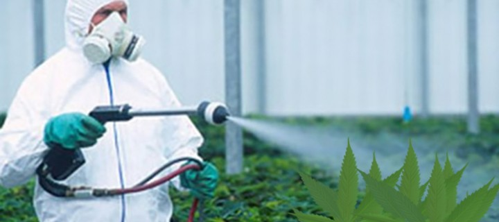 Pesticides in Your Pot? When Medicine Becomes a Danger