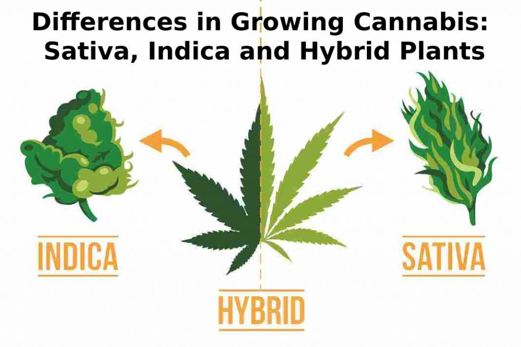 Differences in Growing Cannabis: Sativa, Indica and Hybrid Plants
