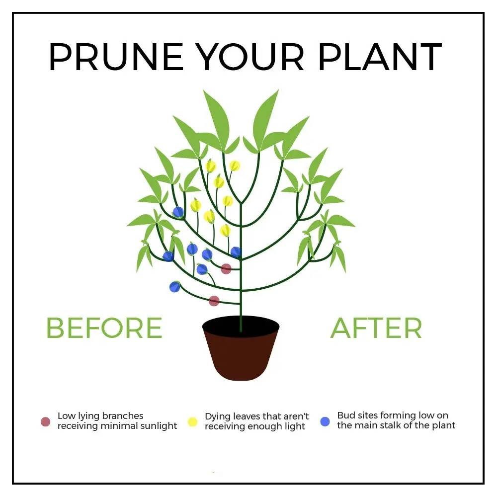 Best methods on pruning you cannabis plants