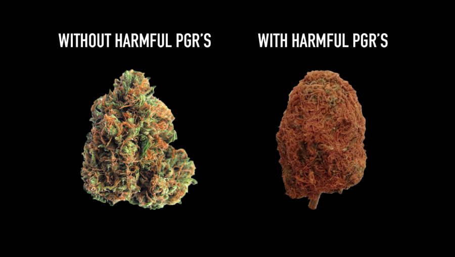 difference between pgr and no pgr weed